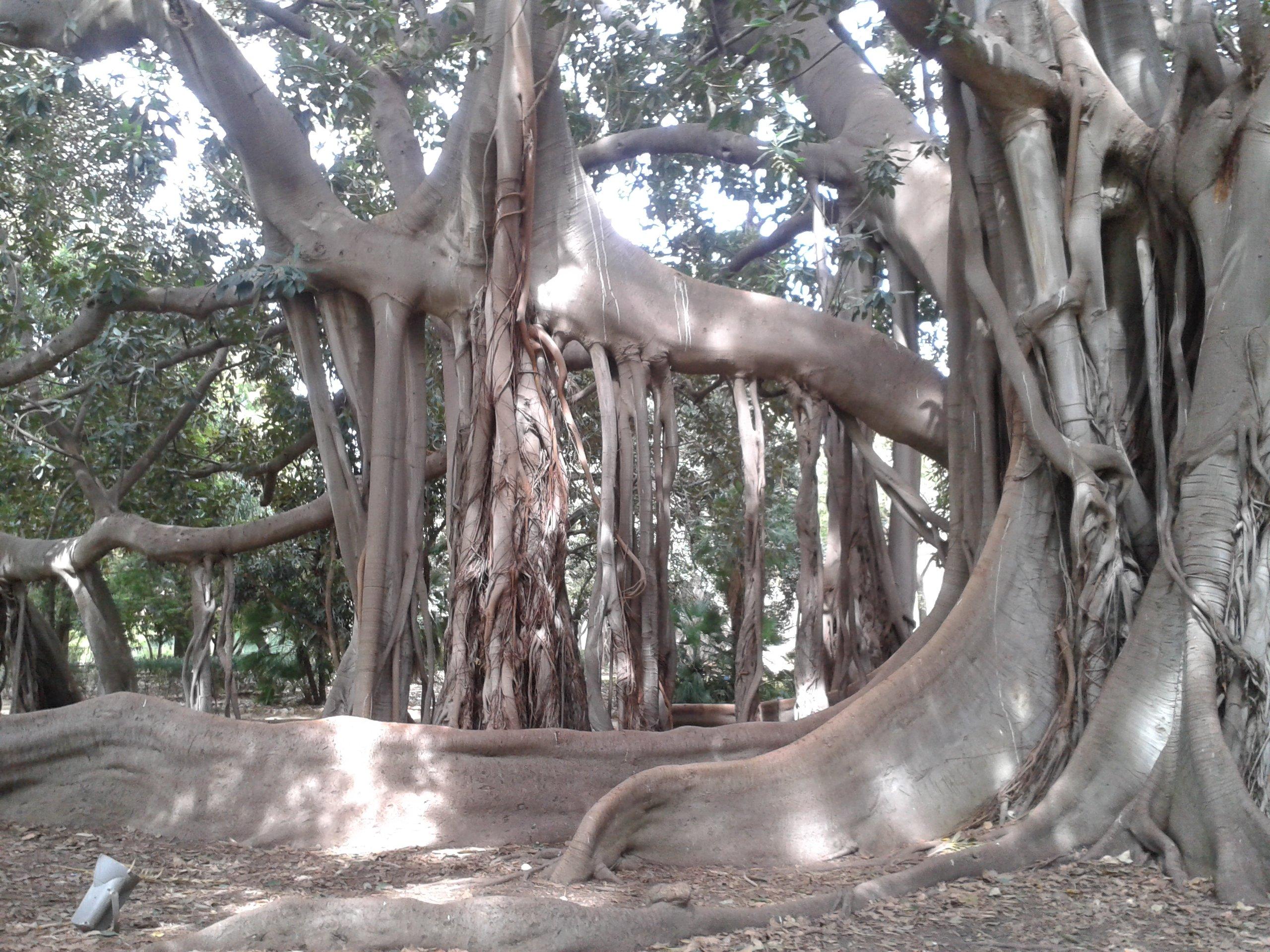 Ficus all'orto botanico